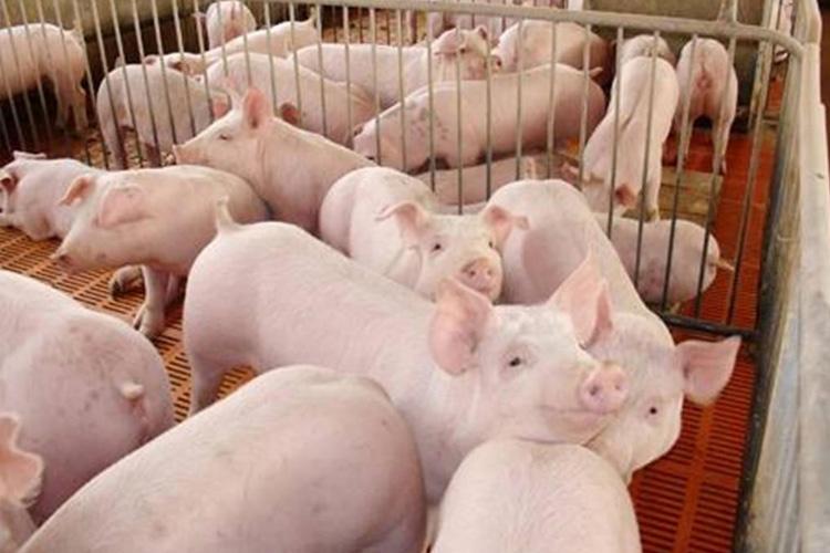 猪养殖基地