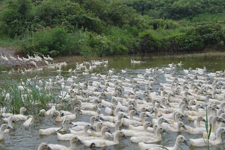 鸭子养殖基地
