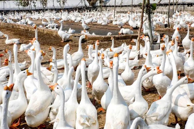 鹅养殖基地