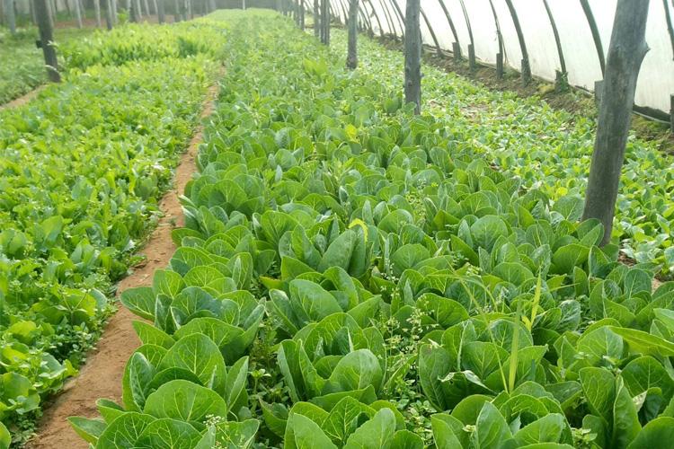 白菜养殖基地