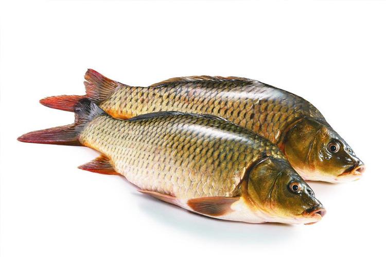 黄河金鲤鱼